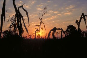 copy-713436_cornfield_sunrise.jpg
